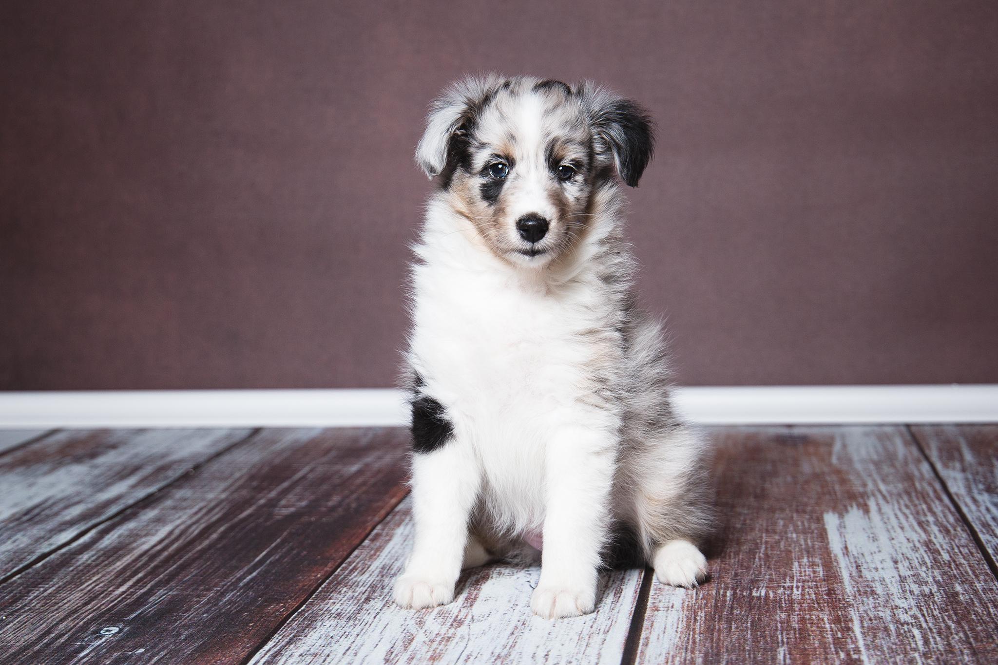 Gipsy 6 Wochen alt