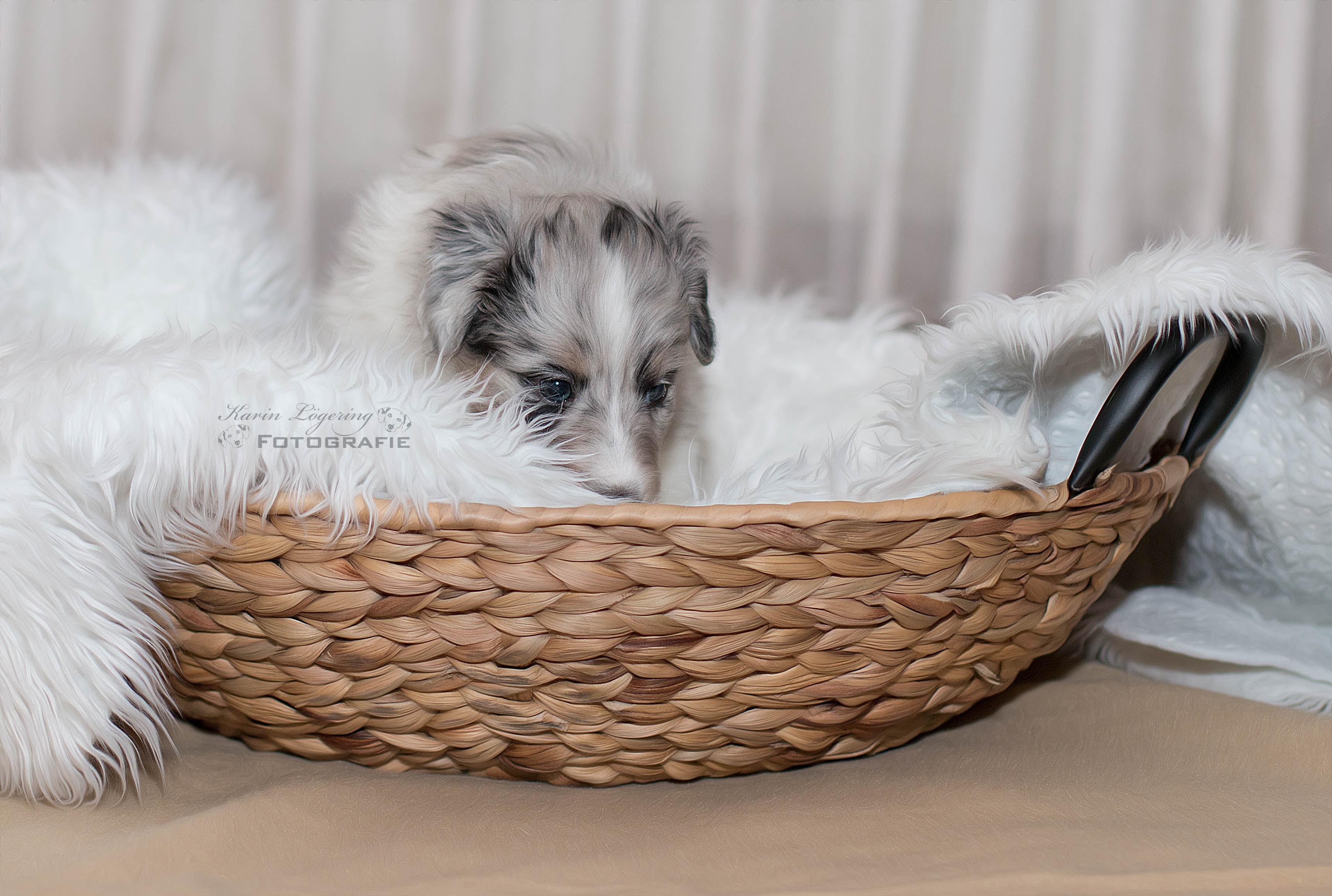 Gipsy 5 Wochen alt
