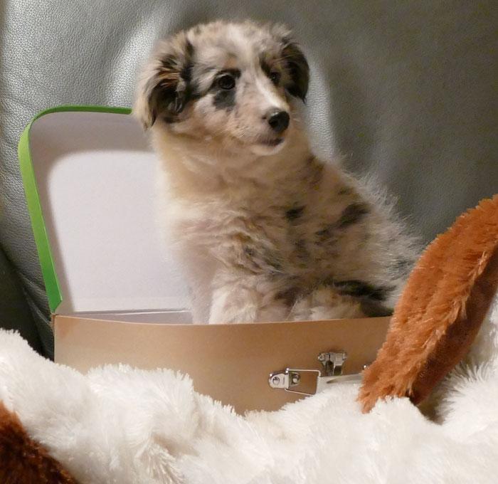Gipsy 8 Wochen alt