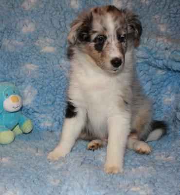 Gipsy 7 Wochen alt